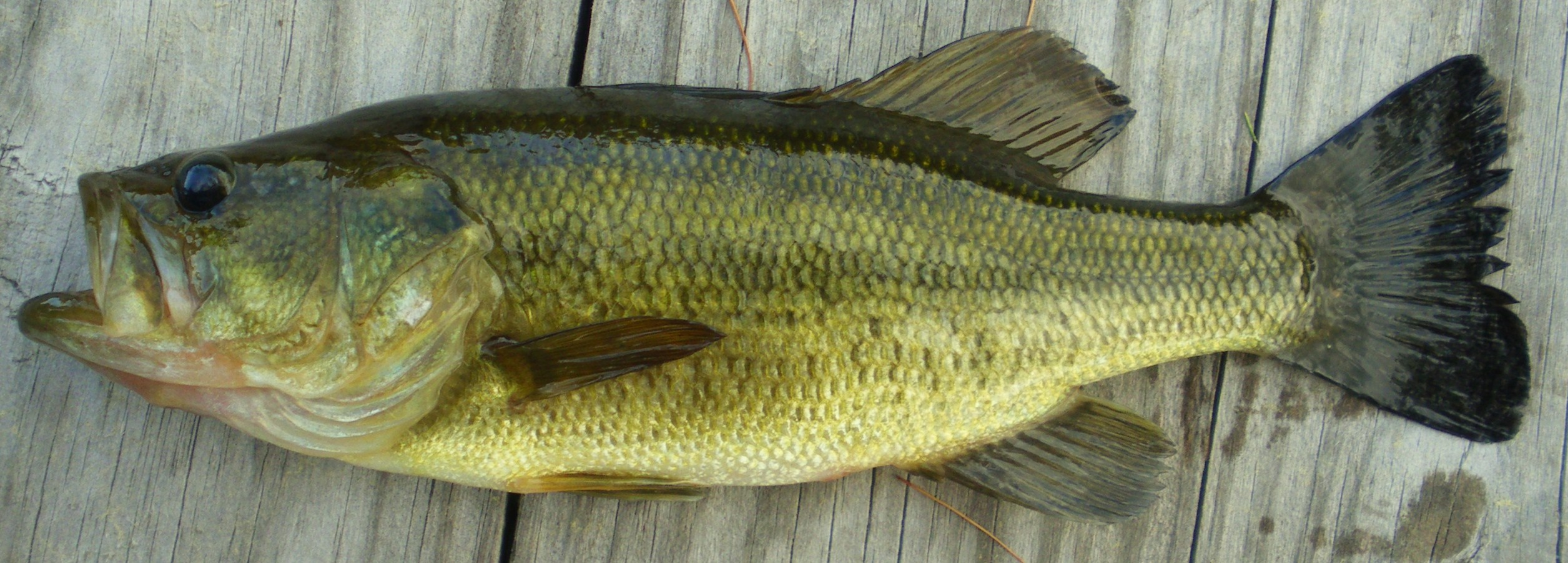 from Cedric large mouth bass photos